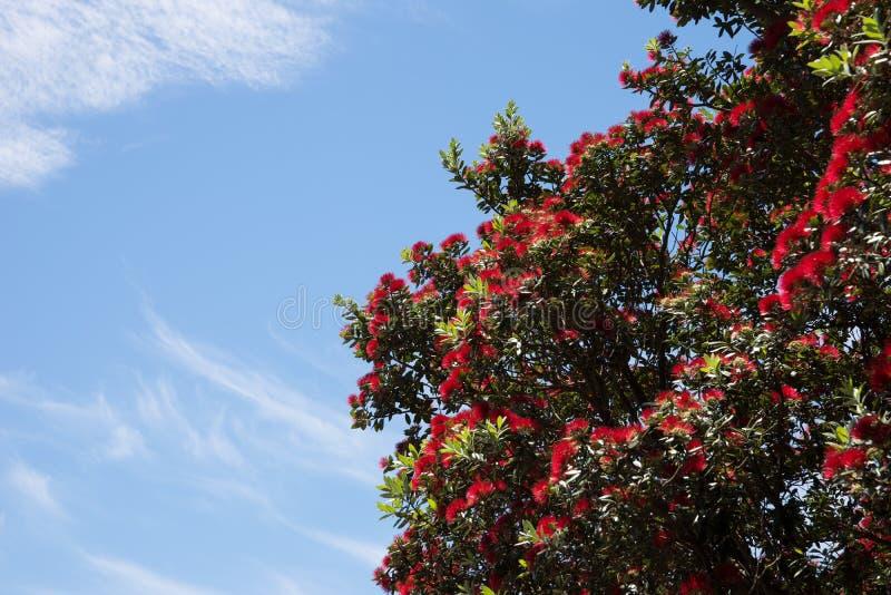 Árbol de navidad de Pohutukawa foto de archivo