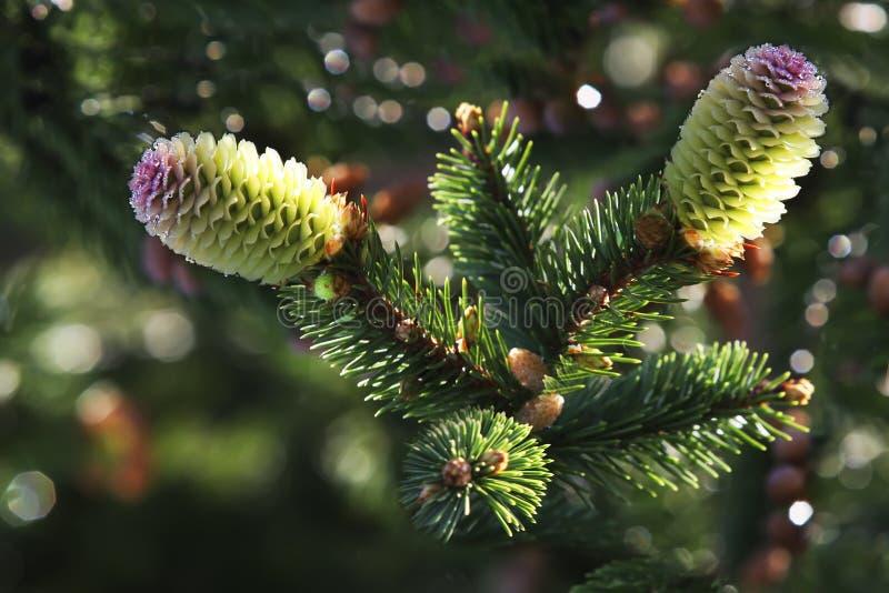 Árbol de navidad del cono del pino de dos jóvenes en gotitas de agua imagen de archivo