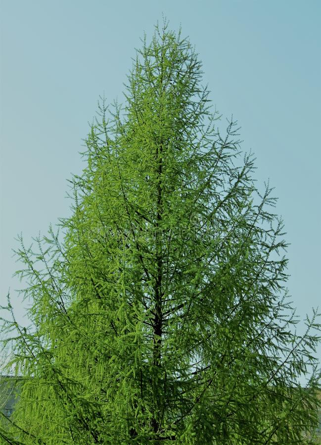 Árbol de navidad hermoso verde en el verano imagenes de archivo