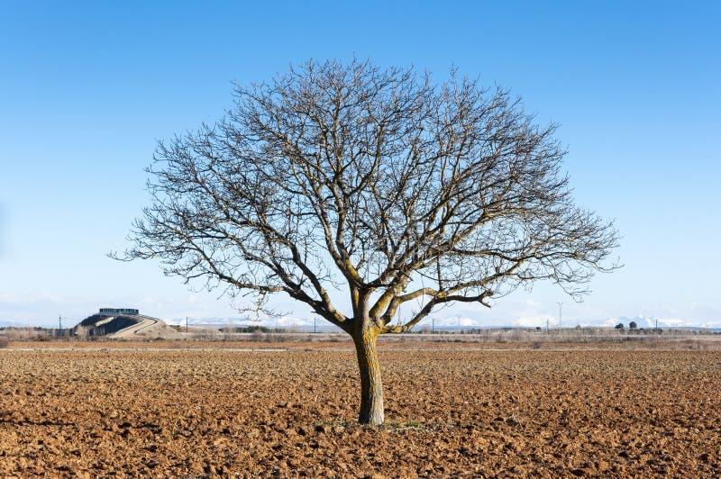 Árbol de nuez común desnudo, juglans regia fotos de archivo