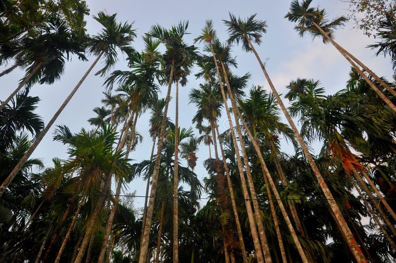 Árbol de nuez de la nuez de betel o de areca fotos de archivo libres de regalías