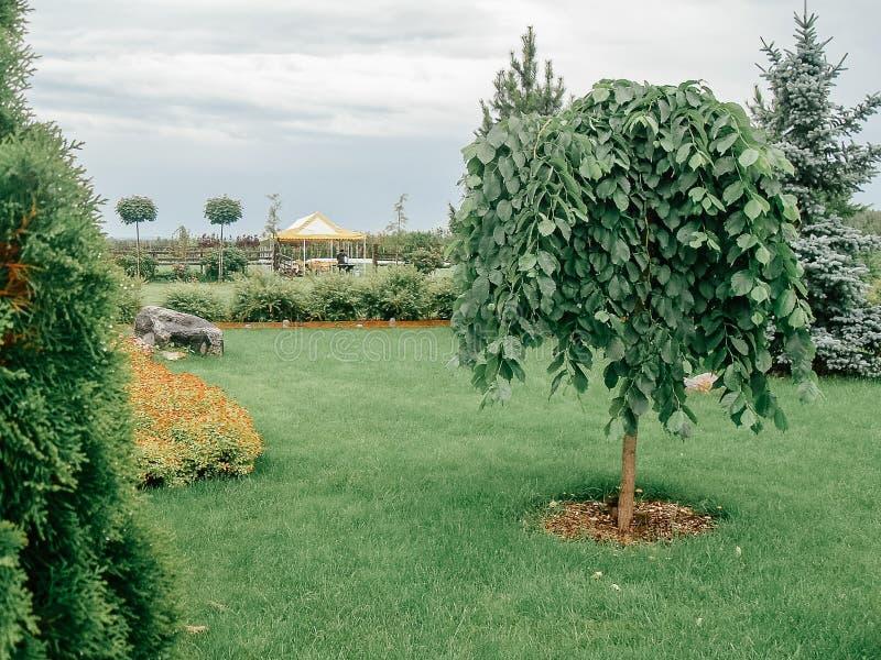 Árbol de olmo de Pendula que llora en césped verde Forma decorativa del diseño del paisaje Forma enana del enano del hábito - el  foto de archivo