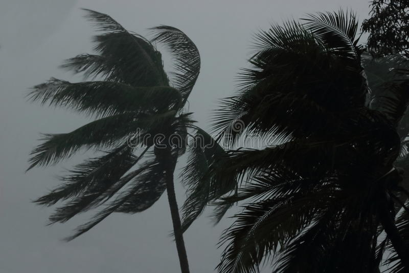 Árbol de palmas de coco durante el viento pesado o el huracán Día lluvioso fotografía de archivo