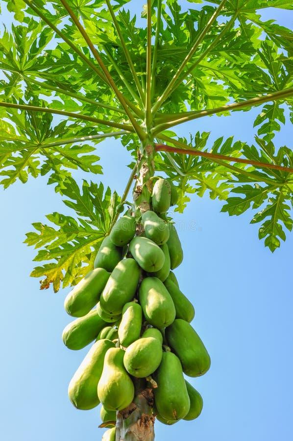 Árbol de papaya foto de archivo