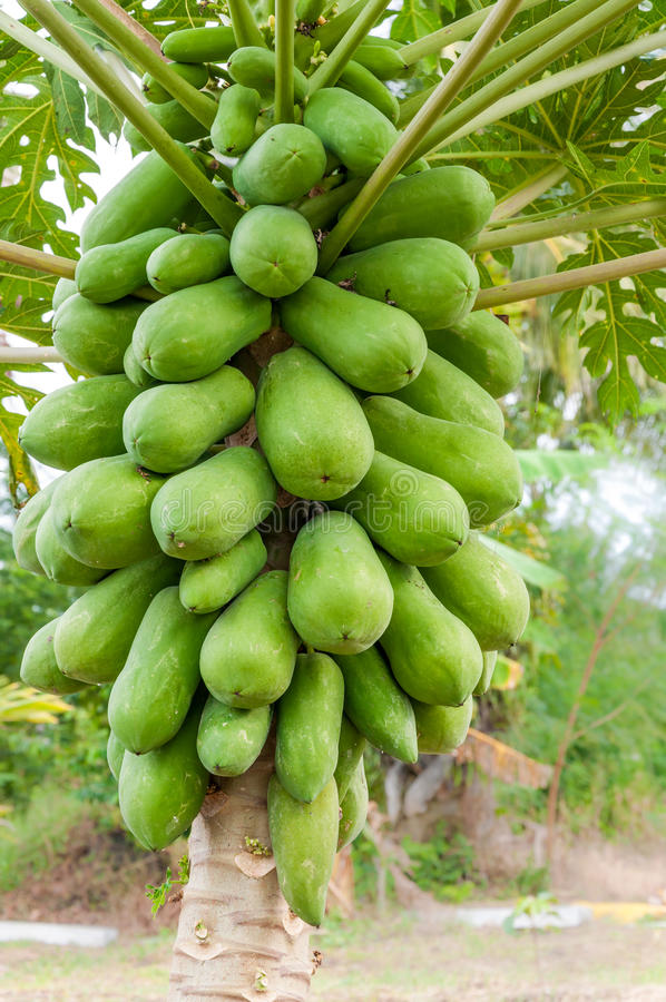 Árbol de papaya imágenes de archivo libres de regalías