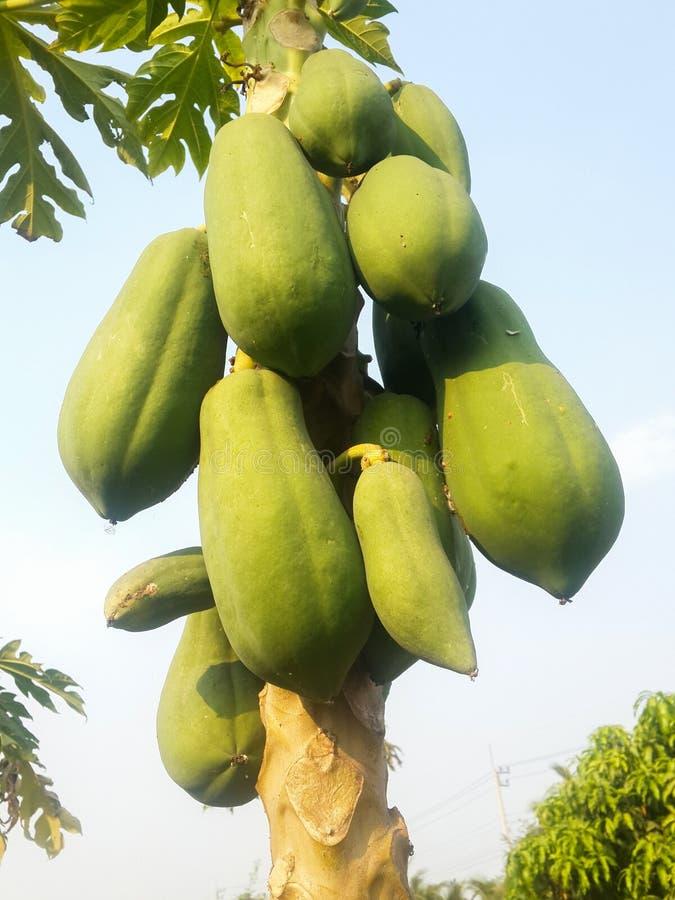 Árbol de papaya foto de archivo libre de regalías