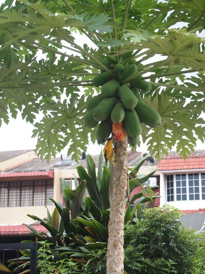 Árbol de papaya con las papayas abundantes foto de archivo libre de regalías