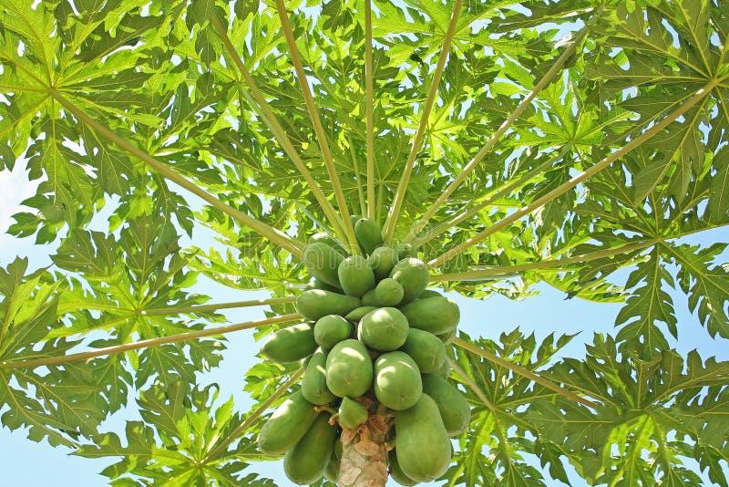 Árbol de papaya y cielo azul fotografía de archivo libre de regalías