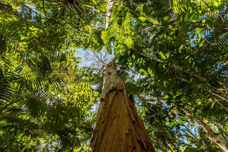 Árbol de papel del té de la corteza, jardines botánicos de los mojones, región de los mojones, Queensland, Australia fotografía de archivo