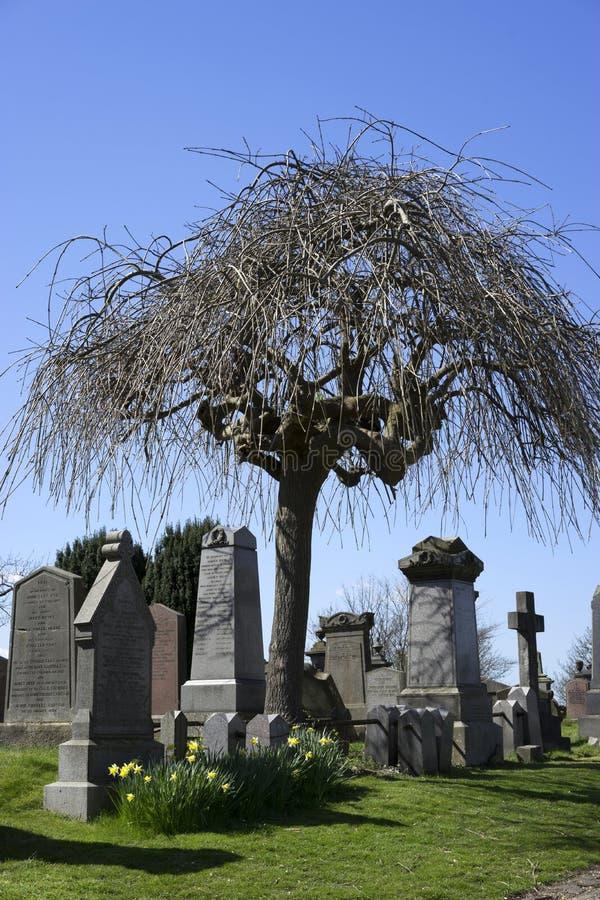Árbol de paraguas en el cementerio - Escocia fotografía de archivo