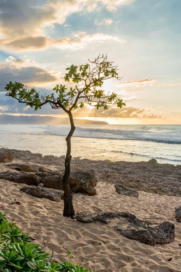 Árbol de paraguas en Rocky Point en la orilla del norte de Oahu, Hawaii en la puesta del sol fotografía de archivo libre de regalías