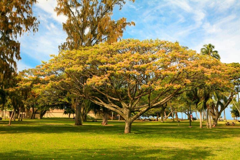 Árbol de paraguas hawaiano imagen de archivo