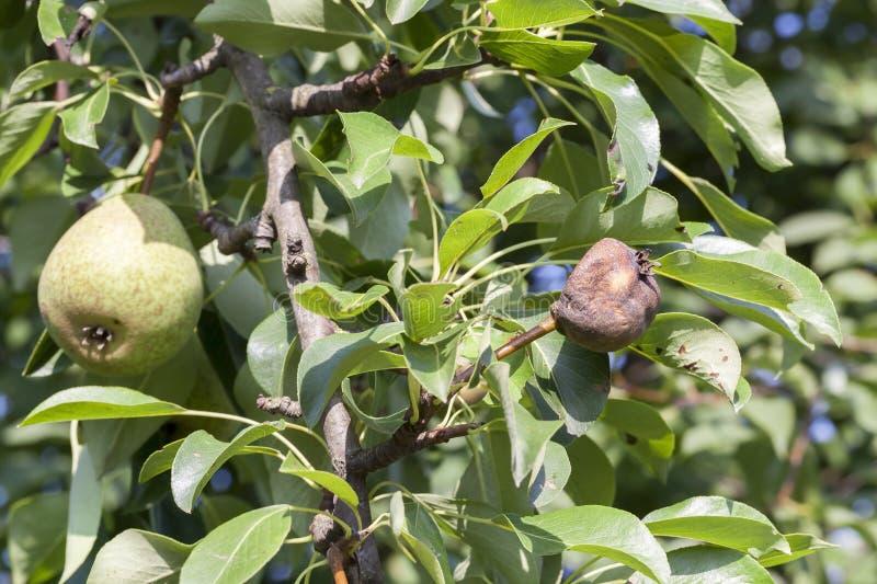 Árbol de pera imagen de archivo