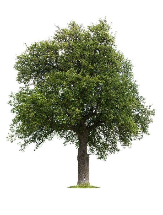 Árbol de pera aislado durante verano fotos de archivo