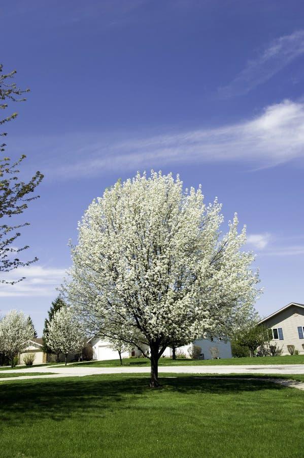 Árbol de pera con los flores fotografía de archivo