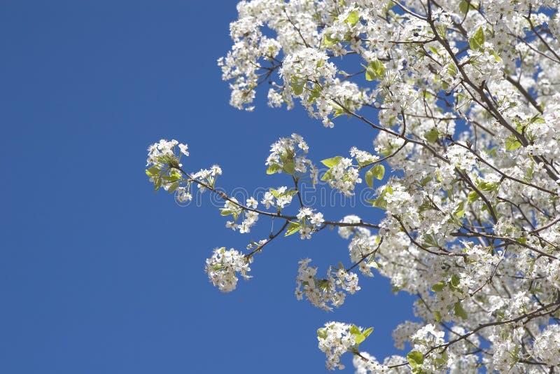Árbol de pera contra el cielo fotos de archivo