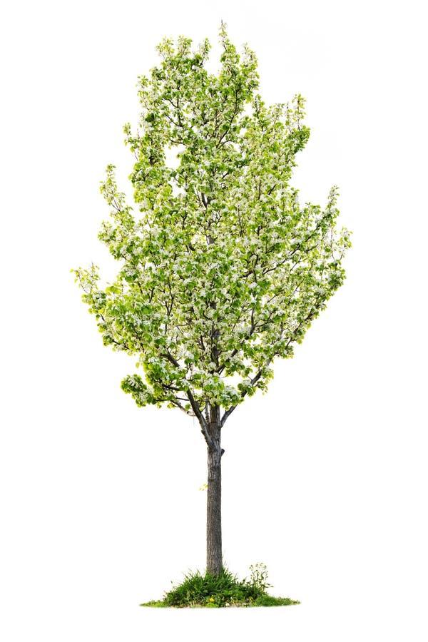 Árbol de pera floreciente aislado foto de archivo