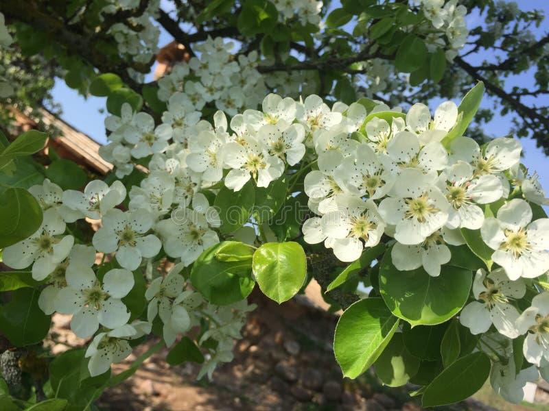 Árbol de pera floreciente imagenes de archivo