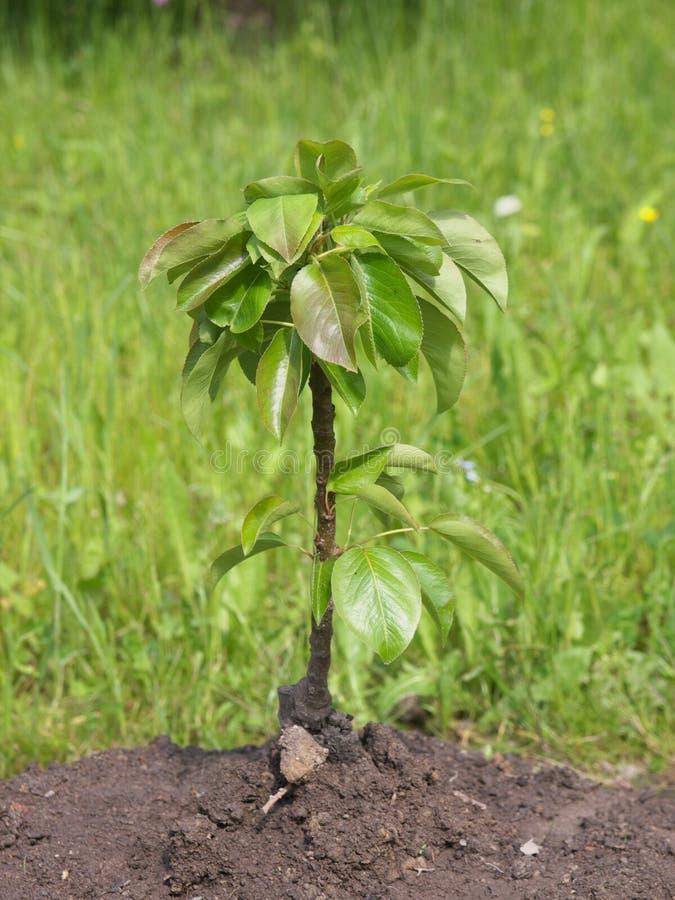 Árbol de pera joven imagen de archivo