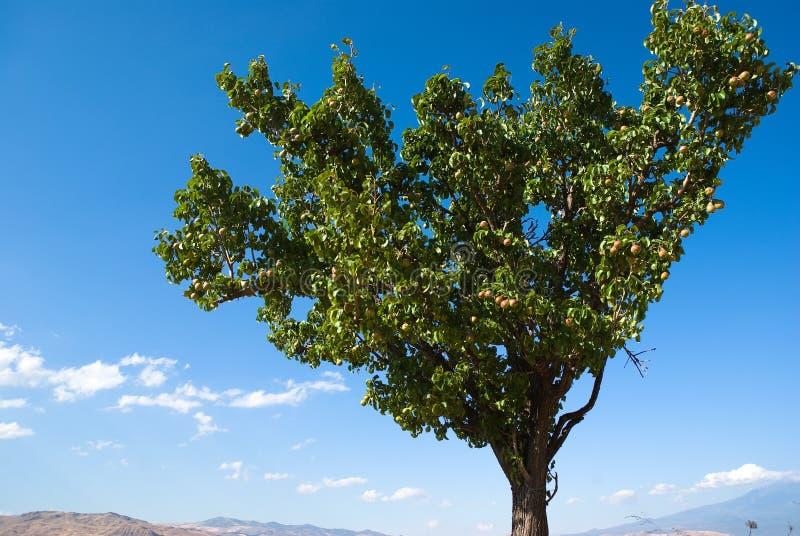 Árbol de peras fotografía de archivo libre de regalías
