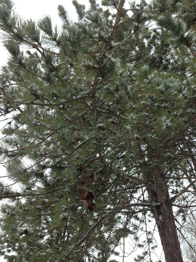 Árbol de pino imagenes de archivo