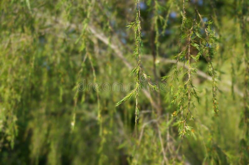 Árbol de pino fotos de archivo libres de regalías