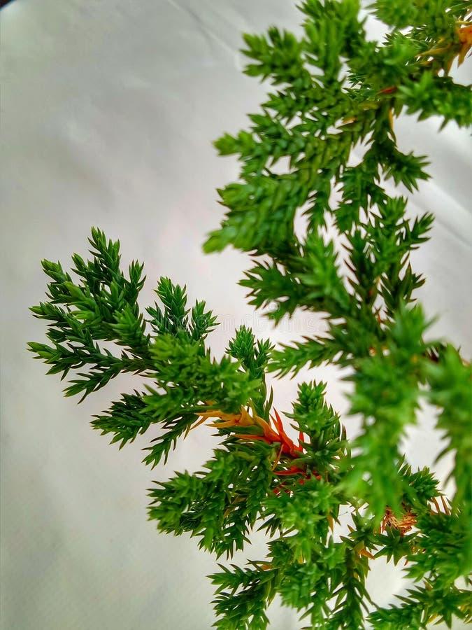 Árbol de pino agradable como la planta foto de archivo