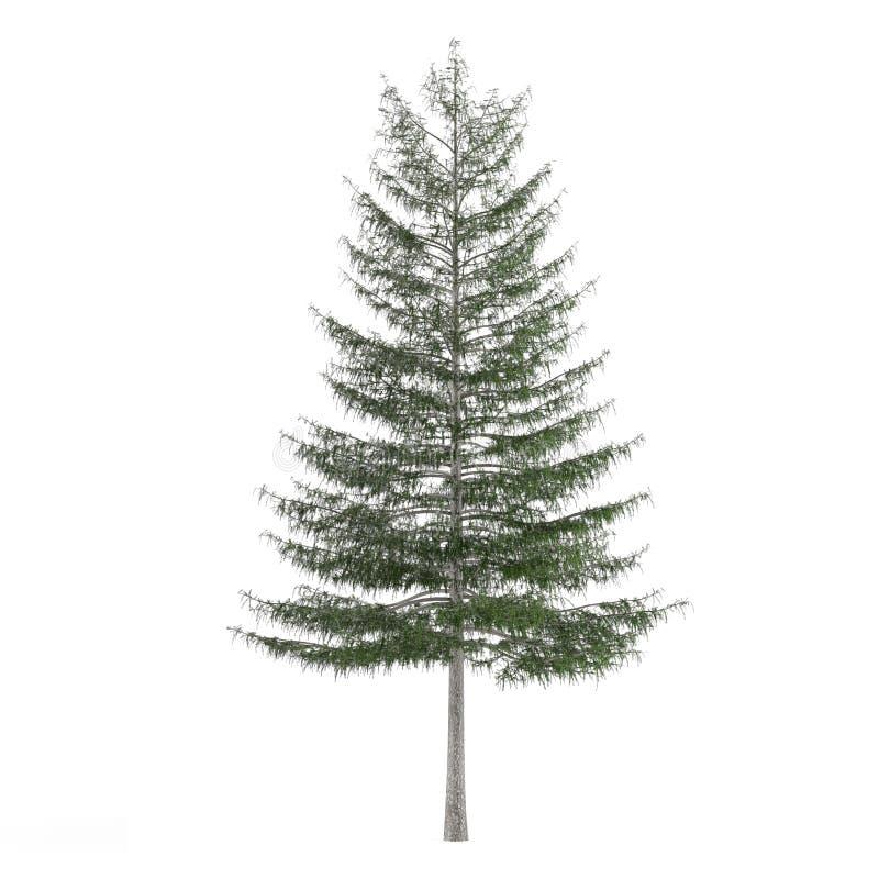 Árbol de pino aislado. Larix decidua fotos de archivo