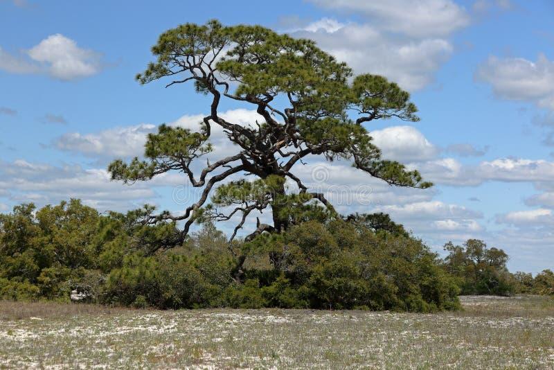 Árbol de pino azotado por el viento majestuoso en la arena herbosa de la playa imagen de archivo