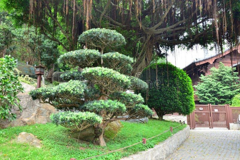 Árbol de pino chino imagenes de archivo