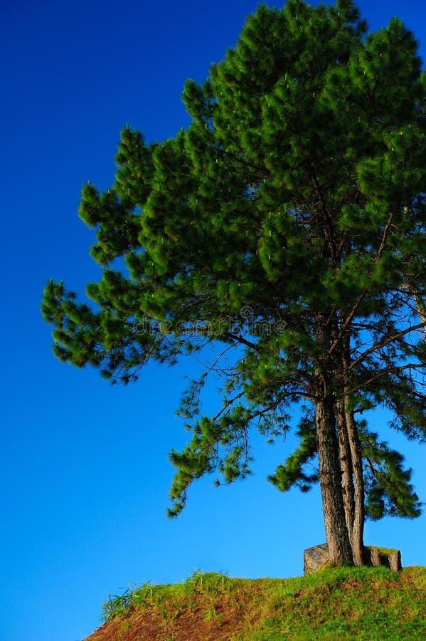 Árbol de pino con el cielo azul claro imagen de archivo libre de regalías