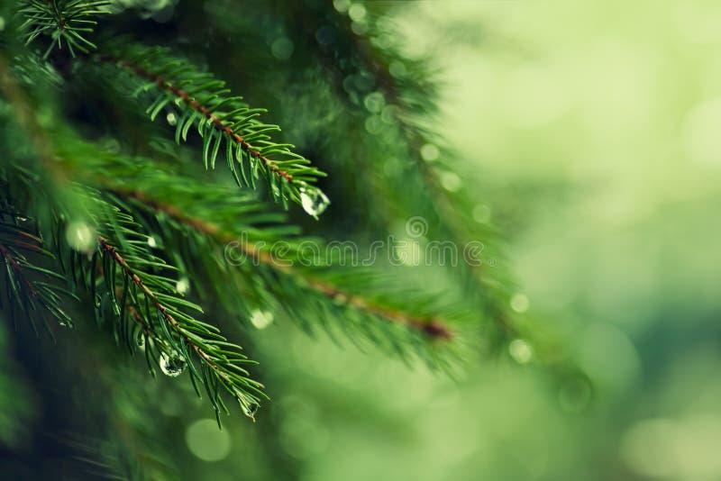Árbol de pino con rocío de la mañana en la ramita fotos de archivo