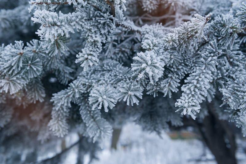 Árbol de pino cubierto con el primer de la escarcha foto de archivo libre de regalías