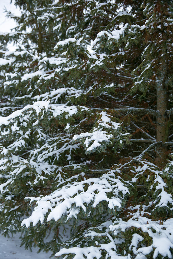 Árbol de pino de las cubiertas de nieve fotos de archivo libres de regalías