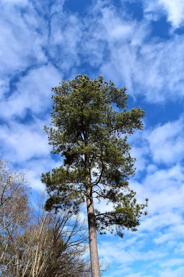 Árbol de pino de Loblolly imágenes de archivo libres de regalías