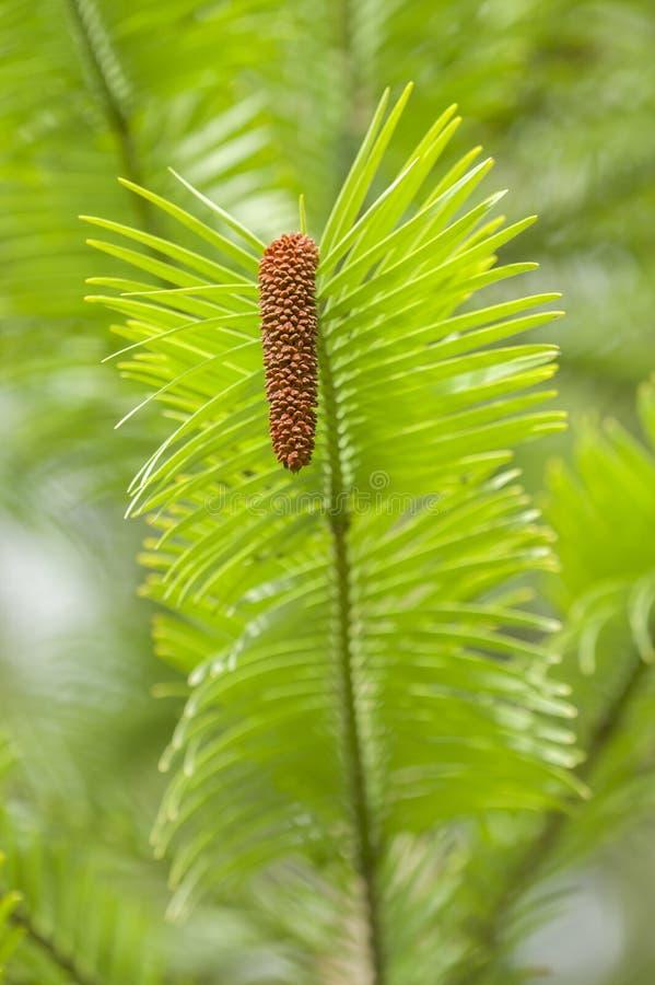 Árbol de pino de Wollemi foto de archivo libre de regalías