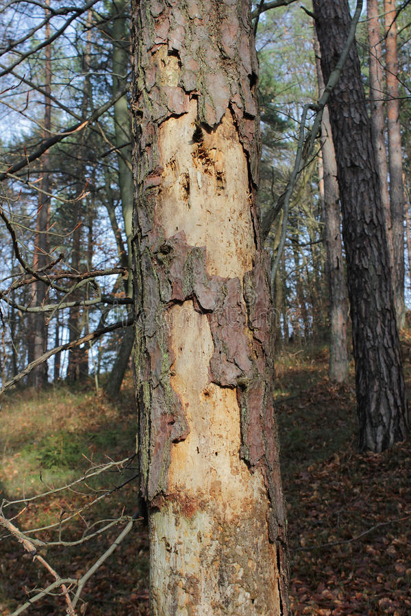 Árbol de pino debilitado - ataque del escarabajo de corteza fotografía de archivo