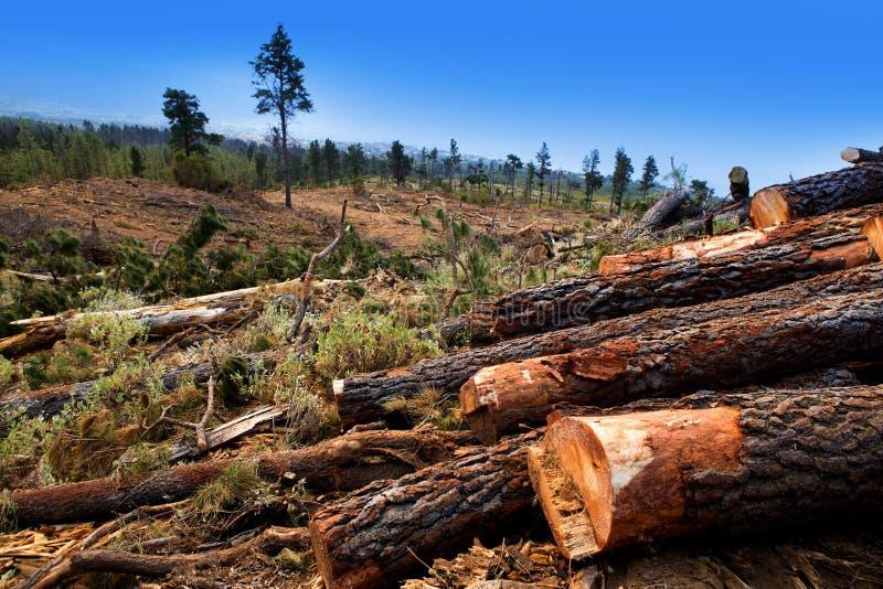 Árbol de pino derribado para la industria de la madera en Tenerife fotografía de archivo libre de regalías