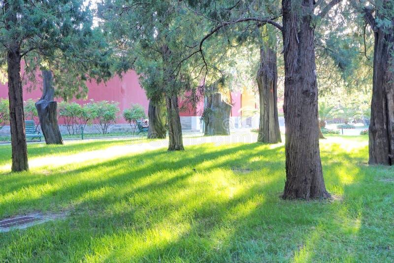 ?rbol de pino e hierba verde con la luz de la ma?ana foto de archivo libre de regalías
