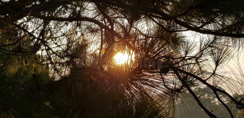 Árbol de pino en Dalat foto de archivo libre de regalías