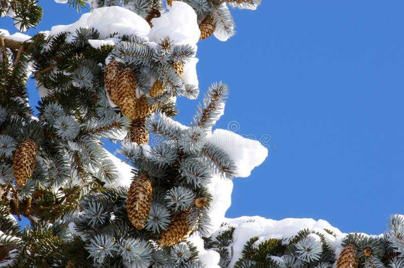 Árbol de pino en el invierno imagen de archivo