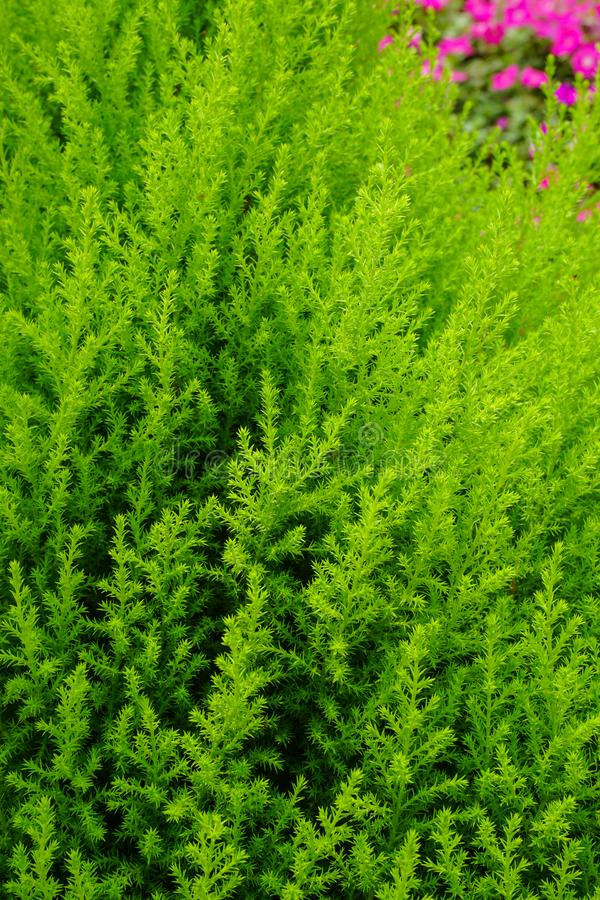 Árbol de pino en el jardín foto de archivo libre de regalías