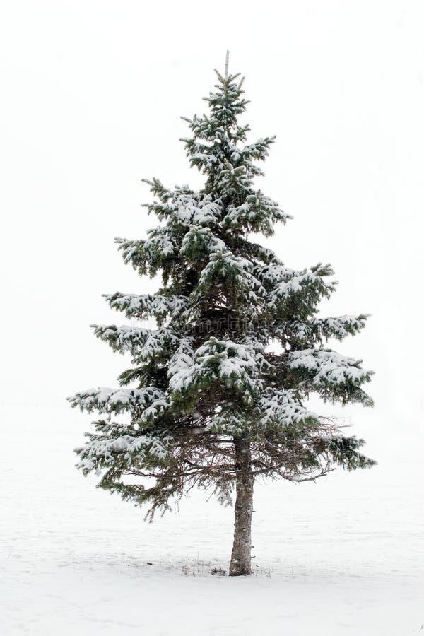 Árbol de pino en invierno fotos de archivo