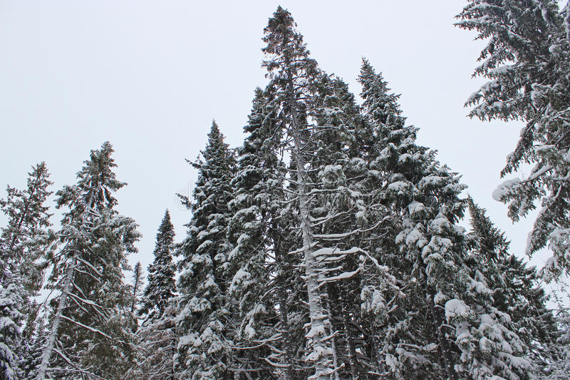 Árbol de pino en nieve foto de archivo