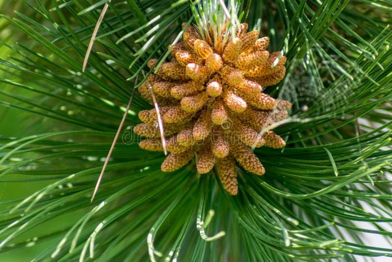 Árbol de pino en primavera imágenes de archivo libres de regalías