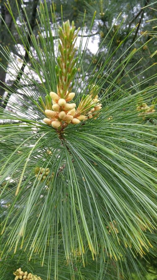 Árbol de pino en primavera imagenes de archivo