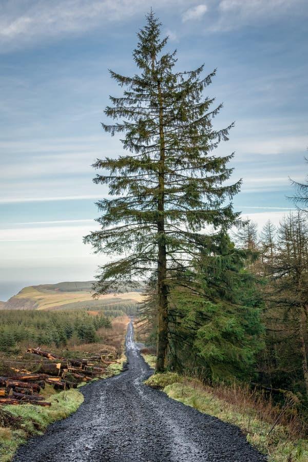 Árbol de pino en un camino de saca fotos de archivo