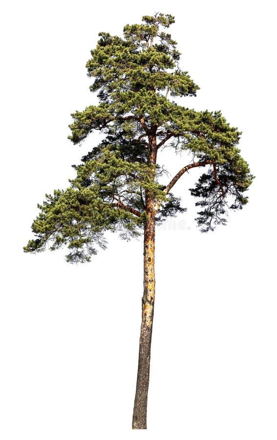 Árbol de pino escocés Aislado en el fondo blanco imagenes de archivo