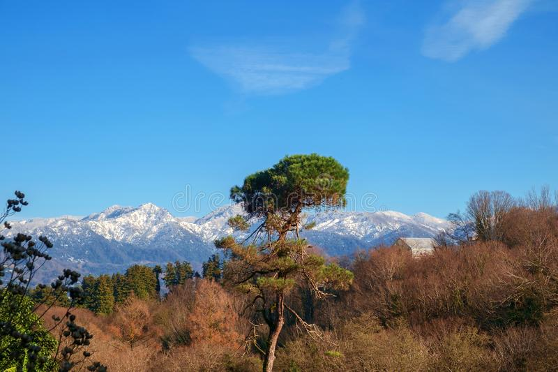 Árbol de pino grande fotos de archivo