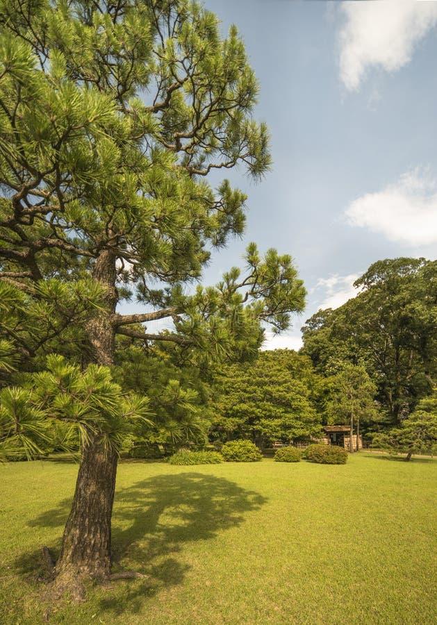 Árbol de pino grande en un césped bajo puerta del cielo azul y del bambú en th fotos de archivo